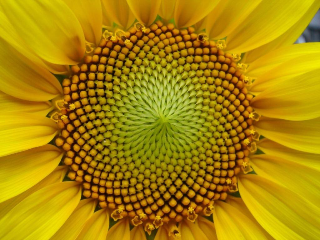 Fibonacci en la flor de un girasol